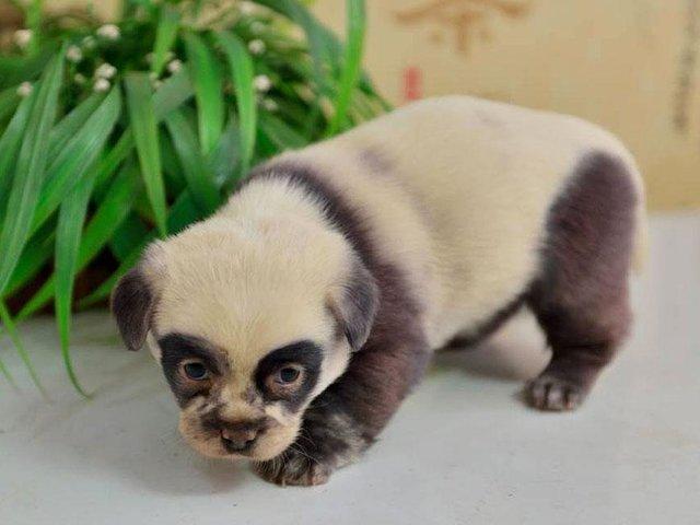 panda pups