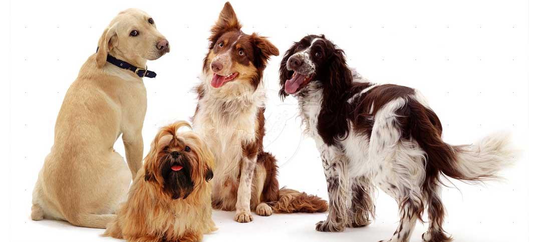 Quizzes - Dog Breeds