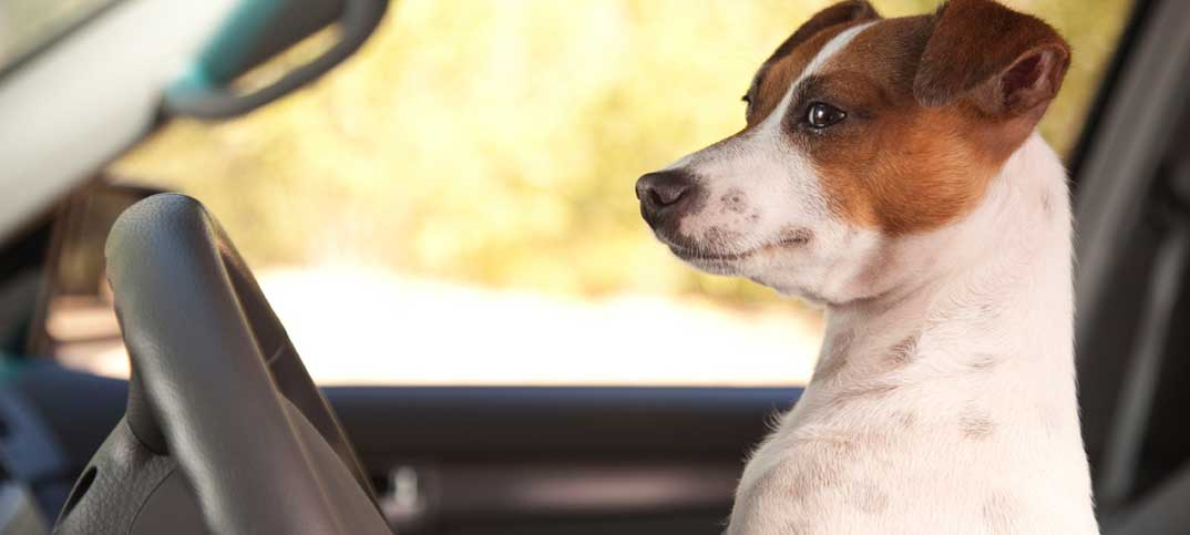 PupLife - Quizzes - Dogs Driving Anything They Want